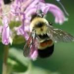 Farms at work Native Pollinators bee