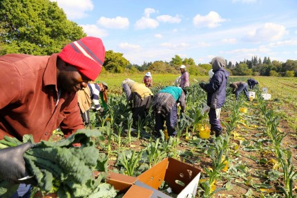 Kale harvesting with the farm team at Pfenning's Organic Farm. Photo: Pfenning's Organic Farm.